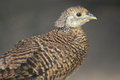 Lady Amherst's pheasant Royalty Free Stock Photography