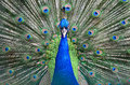 Lady Amherst s Pheasant Stock Photos