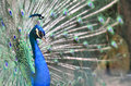 Lady Amherst s Pheasant Royalty Free Stock Image