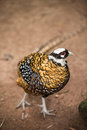 Lady Amhersts pheasant Royalty Free Stock Photo