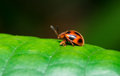 Lady Bug Royalty Free Stock Images