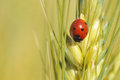 Lady bug in the barley farm Royalty Free Stock Image