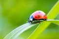 Lady bug on a blade of grass Royalty Free Stock Photography