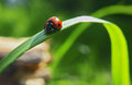 Lady bug is crawling down grass Royalty Free Stock Photo
