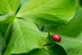 Lady bug crawling on leaves Stock Image