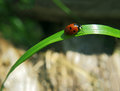 Lady bug is crawling up grass Royalty Free Stock Photo