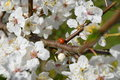 Lady bug enjoying the sun and the spring mirabelle flowers Royalty Free Stock Photography