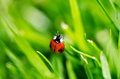 Lady bug on grass close up Stock Photography