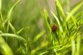 Lady bug macro Royalty Free Stock Photo