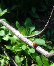 Lady bug on a stick that is crawling Stock Image