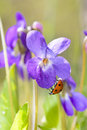 Lady bug on viola odorata bloom a purple flower in spring time Royalty Free Stock Photography