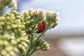 Lady bug on a wild flower Stock Photos