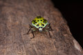 Lady bug a yellow isolate on a wood texture in tropical forest thailand Stock Photography