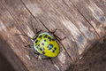 Lady bug a yellow isolate on a wood texture in tropical forest thailand Royalty Free Stock Image