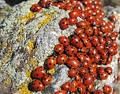 Lady-bugs colony Stock Photo