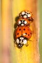 Lady bugs Royalty Free Stock Photo
