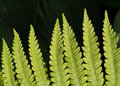 Lady Fern Frond Stock Photo