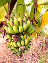 The lady finger banana worldwide there is no sharp distinction between bananas and plantains especially in americas and europe Royalty Free Stock Images