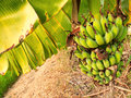 Lady finger banana worldwide there is no sharp distinction between bananas and plantains especially in the americas and europe Royalty Free Stock Image