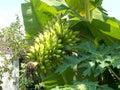 Lady finger small banana mature on the banana tree Royalty Free Stock Photo