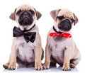 Lady and gentleman pug puppy dogs Stock Photography