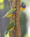 Lady Gouldian Finch Stock Image