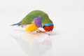 Lady gouldian finch a male looking at its reflection on a white background Royalty Free Stock Image