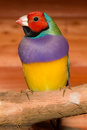 Lady gouldian finch a male perched on a branch up close Royalty Free Stock Photos