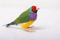 Lady gouldian finch a male pose on a white background no reflection Royalty Free Stock Image