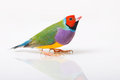 Lady gouldian finch a male with reflection on a white background Royalty Free Stock Images