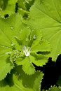 Lady's mantle Stock Image