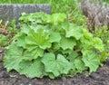Lady`s mantle Alchemilla plant