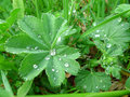 Lady s mantle alchemilla vulgaris with drops of water Stock Photos