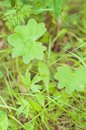 Lady`s Mantle is ecological, healthy and nutritious raw food/wil