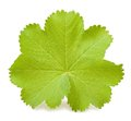 Lady s mantle leaf isolated on white Royalty Free Stock Photos