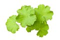 Lady s mantle leaves isolated on white Stock Photos
