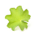 Lady s mantle on a white background Royalty Free Stock Photography
