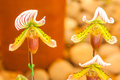 Lady s slipper orchid close up of paphiopedilum callosum Royalty Free Stock Photos