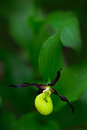 Lady's Slipper Orchid, Cypripedium calceolus, flowering European terrestrial wild orchid, nature habitat Royalty Free Stock Photo