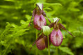 Lady's Slippers Royalty Free Stock Images