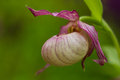 Lady slipper orchid (Cypripedium) Royalty Free Stock Photo
