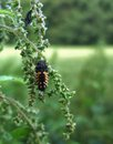Ladybeetle grub on stalk of a sitting a in green blurry back Stock Photography