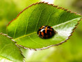 Ladybird beetle on rose leaf 1 Royalty Free Stock Photo