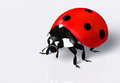 Ladybird closeup of a ladybug with a red elytra and black spots on a white background Royalty Free Stock Photos
