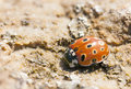 Ladybird closeup of a red with fifteen black spots Stock Images