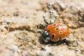 Ladybird or ladybug closeup Royalty Free Stock Photo