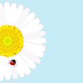 Ladybird on daisy flower over blue background Royalty Free Stock Photo
