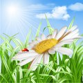 Ladybird on daisy flower vector summer background illustration Stock Images
