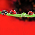 Ladybird on dewy leaf Royalty Free Stock Image
