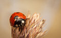 Ladybird on an Ear of Wheat Royalty Free Stock Photo